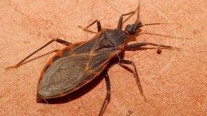 Após surto de Doença de Chagas, 20 novos casos suspeitos são investigados em Lábrea