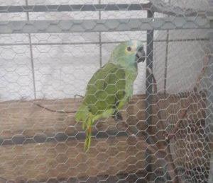 """Papagaio diz """"Mamãe, polícia!"""", e é apreendido em operação da PM no Piauí"""