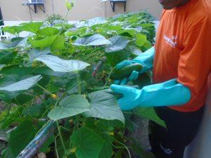 Hortas garantem trabalho e reforço na alimentação de detentos do Amazonas