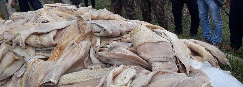 PM apreende 3,5 toneladas de pescado ilegal em Tabatinga, no AM