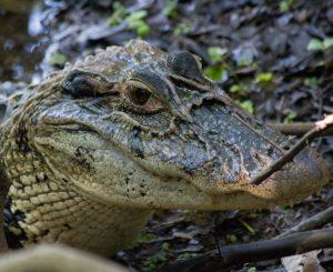 Adaf certifica primeiro abatedor de jacarés no Amazonas