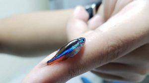 Tinta aplicada em cascos de embarcações pode intoxicar peixes na Amazônia