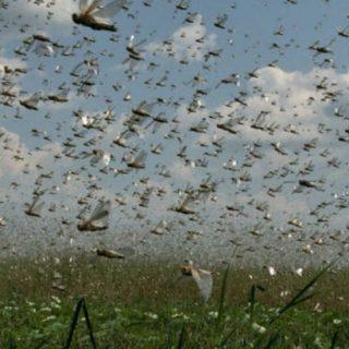Pesquisadora do Inpa descarta nuvem de gafanhotos na Amazônia Legal.