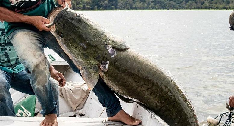Pirarucu é encontrado em rio nos EUA e preocupa autoridades